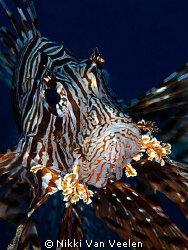 Lionfish taken with a 105mm lens at the campsite in Ras M... by Nikki Van Veelen 